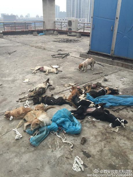 chiens torturés chine