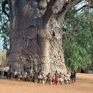 The oldest baobab tree on Impalila Island in Nambia