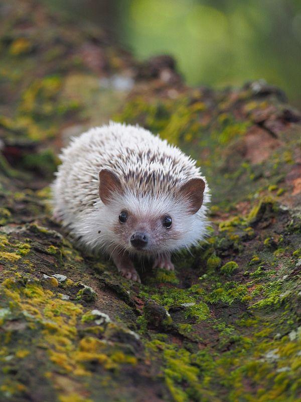 Hedgehog by Jason Pang