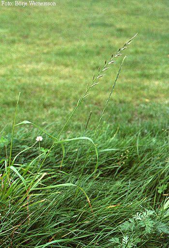 Italienskt rajgräs är ganska vanlig, men ofta kortlivad och tillfällig. Den påträffas för det mesta i nyanlagda gräsmattor