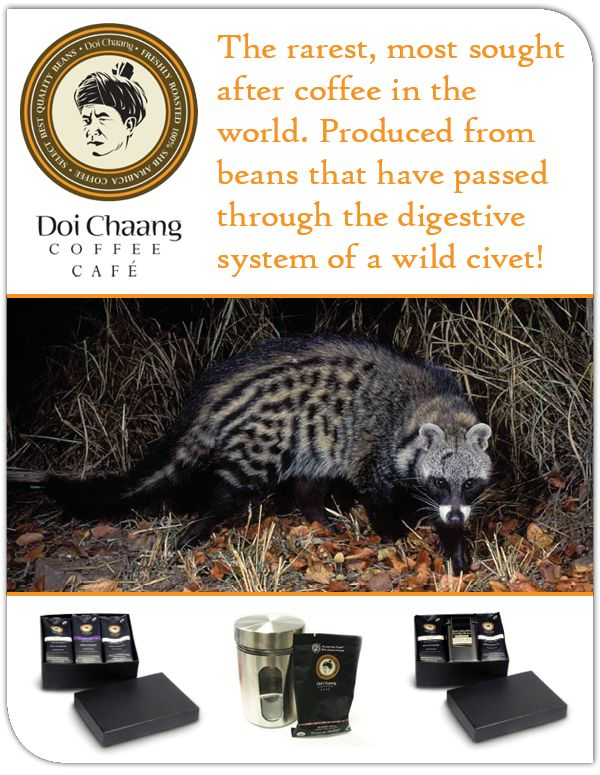 Doi Chaang Wild Civet Coffee is the rarest, most sought-after coffee in the world. Produced  from beans that have passed through the digestive system of a wild civet, a small mongoose like animal that forages the Doi Chang Village.