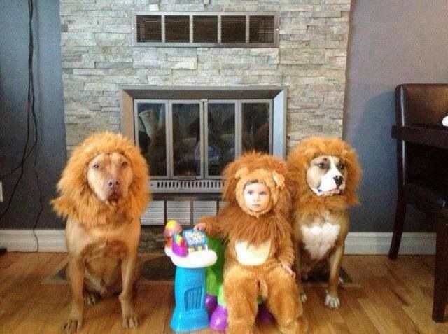Sparky's halloween costume Pit bull lions