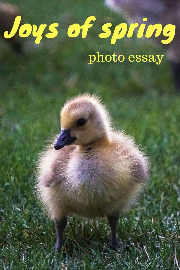 Joys of spring! Who wouldn't like baby animals? I hope these pictures will brighten up your day. Canada goose/goslings