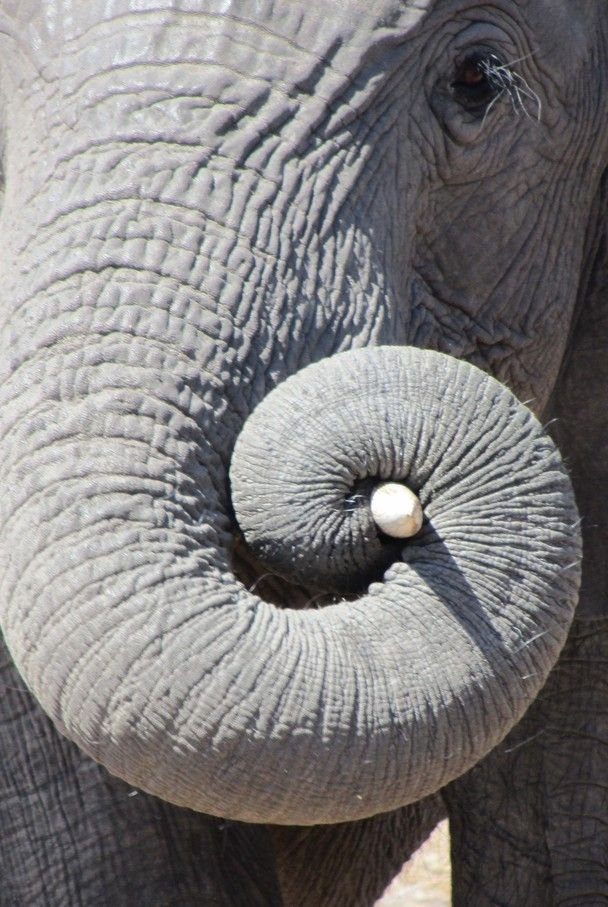 """Probably one of the most interesting morphological features of the elephant is its trunk. The trunk is an extremely flexible muscular organ which can be used with the finest touch. It is an important part of an elephant's life by being used as an exploratory organ, for feeding, for drinking and for friendly wrestling matches."""