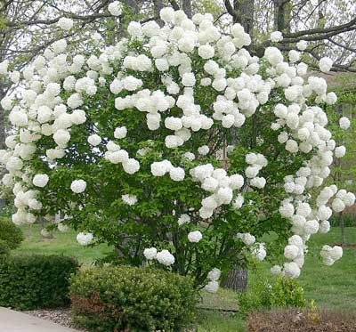Snowball Viburnum Bush, full sun, blooms early in spring, 10-20 feet tall at maturity, prune after flowering.  This would be great between fence and driveway, could provide late afternoon shade for hydrangeas.