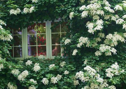Een buitenbeentje in de groep is de klimhortensia (Hydrangea anomala ssp petiolaris - tot 10 m). Deze klimplant heeft een witte bloeiwijze en groeit het best op een muur of schutting in halfschaduw.