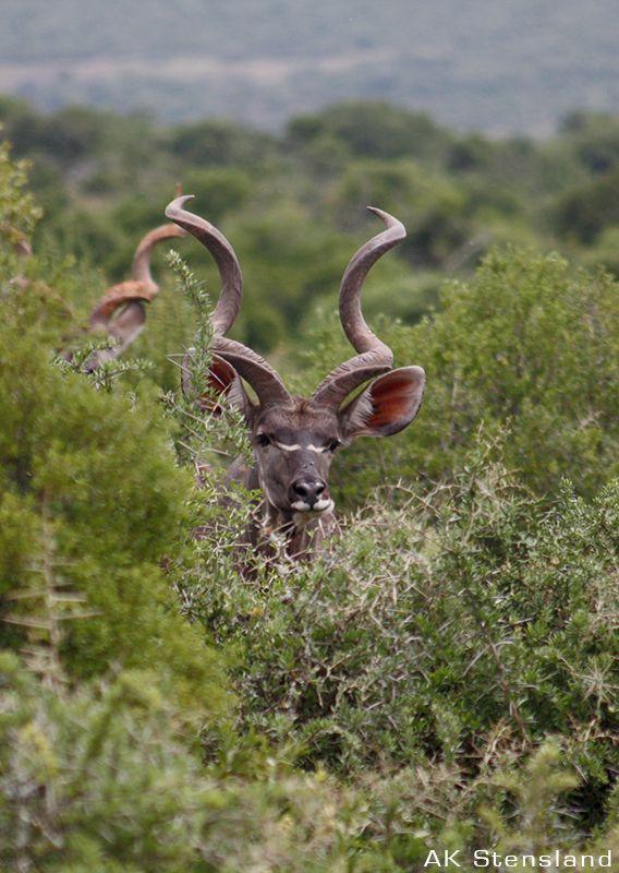Foto: AK Stensland, Kudu i Sør-Afrika