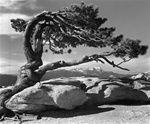Ansel Adams, Jeffrey pine