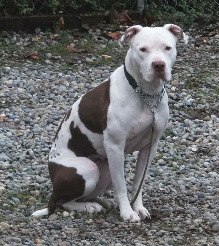 american bulldog terrier mix best 25 american bulldog rescue ideas on pinterest 9819