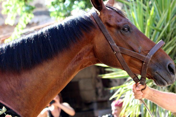Ardia...il cavallo che correrà in prima posizione nella casa de sa primera bandiera prima che inizi la sagra... by loybillyrock
