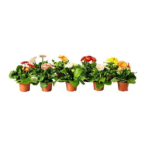 IKEA - GERBERA, Potted plant, Decorate your home with plants combined with a plant pot to suit your style.
