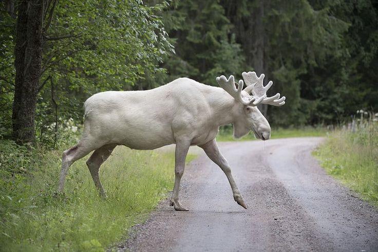 Den världsberömda vita älgen i Värmland :: Foto: Tommy Pedersen / TT