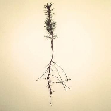 Cute Douglas Fir Seedling Pine Tree Tattoo Tree Sleeve