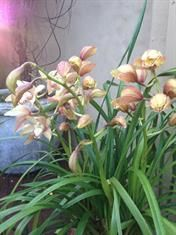 This orchid is very happy in a pot in our garden.