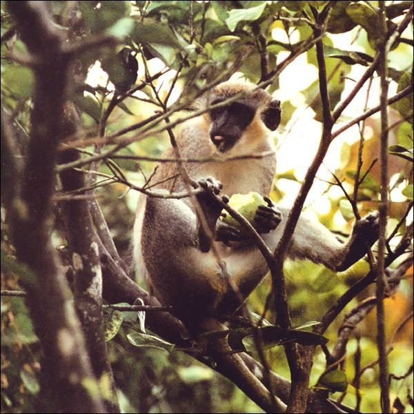 Green Monkeys are common in #Nevis.