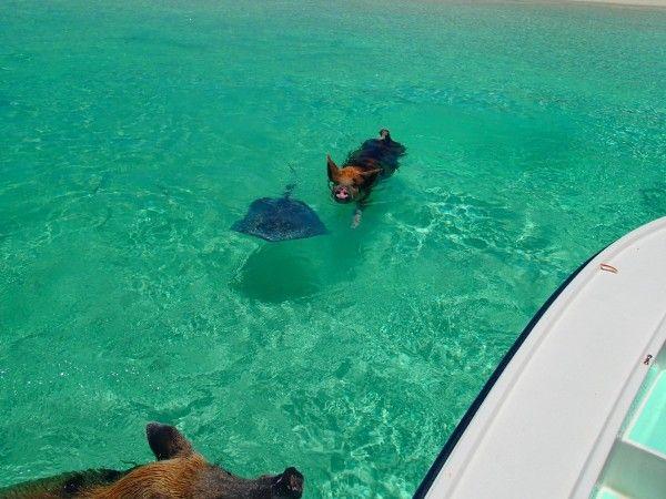 Un cerdo nadando con una manta raya