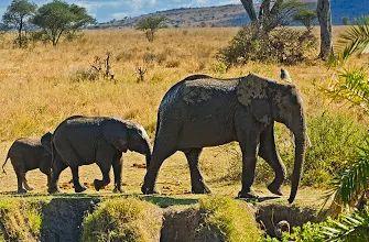 """Foto: """"Siga mamá!""""  la sociedad elefante africano está dispuesto alrededor de las unidades familiares.  Cada unidad familiar está compuesta por alrededor de diez hembras estrechamente relacionados con sus crías y está dirigido por un viejo femenina conocida como la matriarca.  Las crías nacen después de un período de gestación de casi dos años.  Ellos son cuidados por su madre y otras mujeres jóvenes en el grupo, conocido como allomothers.  El cuidado amoroso tierno prodigado en bebés…"""