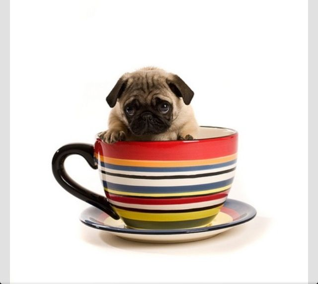 Pug n cup | Tea cup pups | Pinterest | Pug and Cups