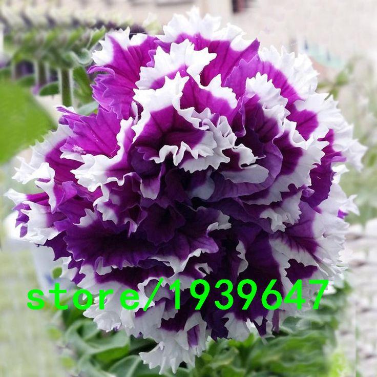 Plantas raras Sementes de Petúnia Roxo Pétalas de Petúnia Jardim Casa Bonsai Varanda Flor Petúnia Sementes de Flores 500 PCS