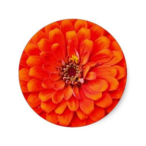 Great for invitations, announcements, and all types of correspondence. There's even matching stamps. LOVE! ♥ Vibrant Orange Zinnia Floral Stickers / Seals. #orange #zinnia #floral #flower #stickers #seals #invitation #announcement #wedding #shower
