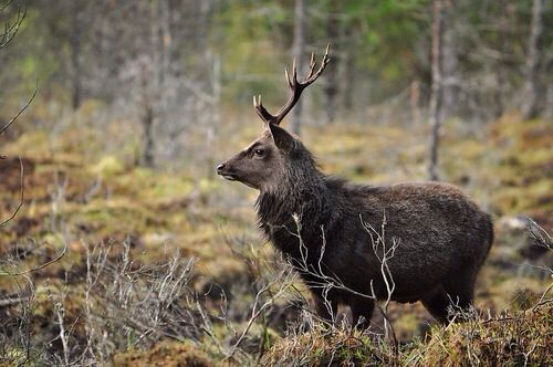 Sika Stag: 35 Best Sika Deer Images On Pinterest
