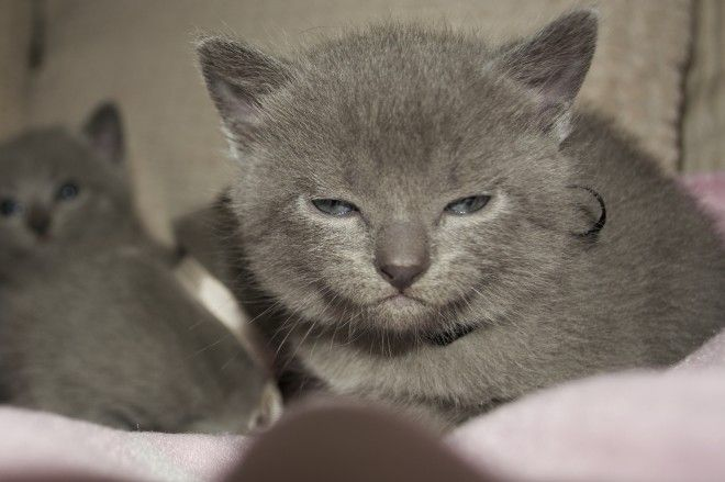 Chartreux French Chartreux Kittens London Breed