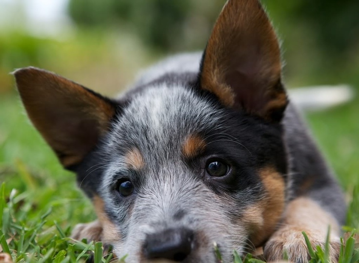 ACD pup