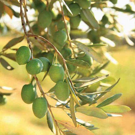 Bloomsz Olive Fruit Tree in Decorative Planter