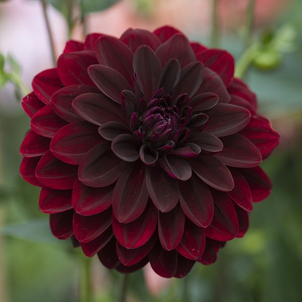Dahlia Burgundy Black Flower: 1915 Best Images About Dahlias On Pinterest