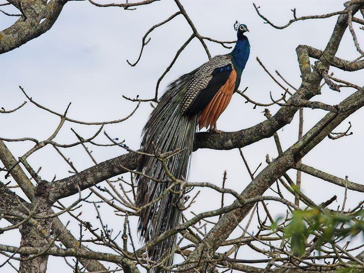 chitwan nationalpark pfau