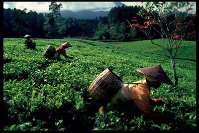 Tea Plantation, Bandung