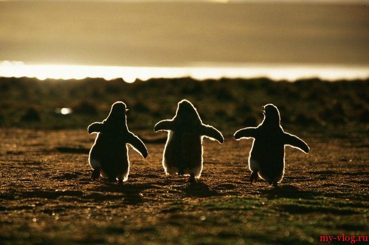 Пингвины — это ласточки, которые ели после шести.