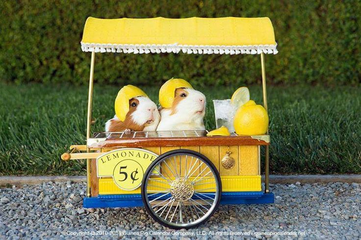 Best lemonade stand ever! As seen on the Guinea Pig Zone Facebook page.