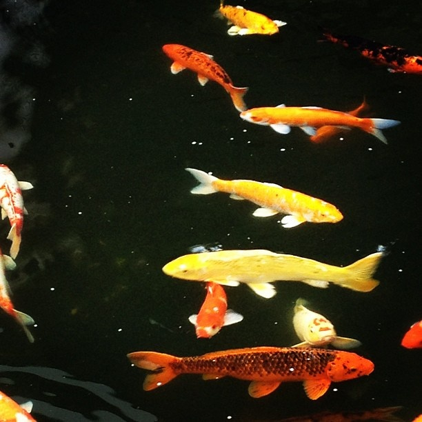 141 best beautiful koi fish images on pinterest for Beautiful koi fish