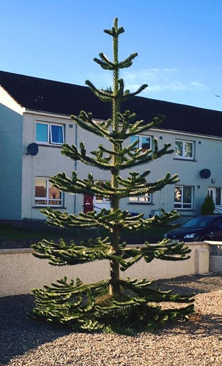 Coming next year to the nursery is Araucaria araucana more commonly known as the Monkey puzzle or Chile pine. This evergreen conifer is fully hardy and has dark green, scale-like leaves and is a popular choice for the garden due to it's unusual appearance.