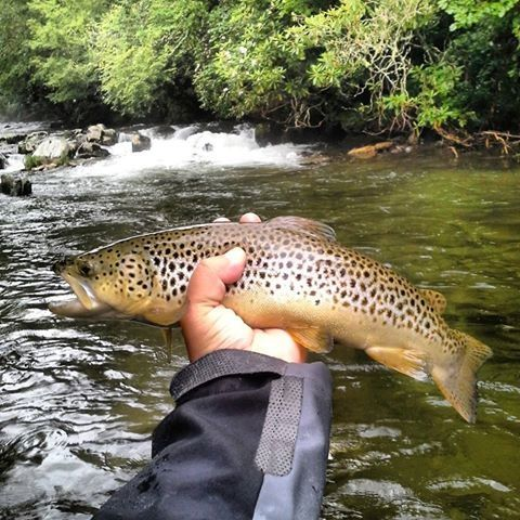 Smoky mountain brown trout cherokee nc courtesy of for Cherokee trout fishing
