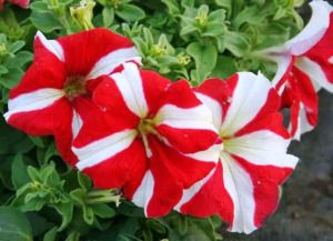 petunia care, how to grow petunia flowers