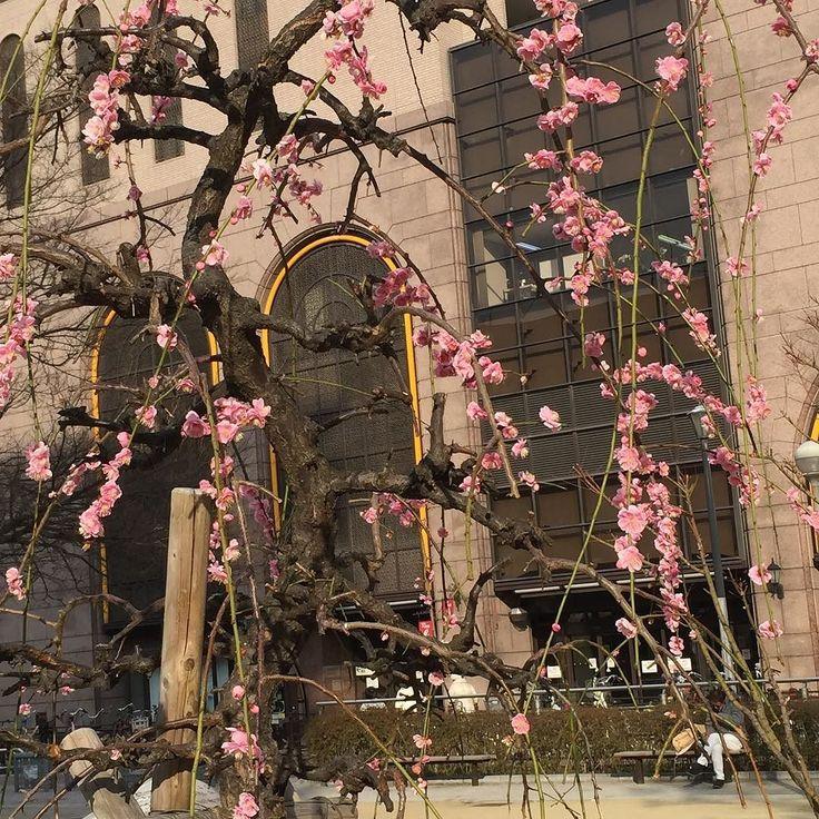 近所公園で一本だけ綺麗に咲いてた早咲きの種類の桜なのかな 詳しくないけど 今日の強風で大分散ってた 咲いてるうちに気づいて良かった