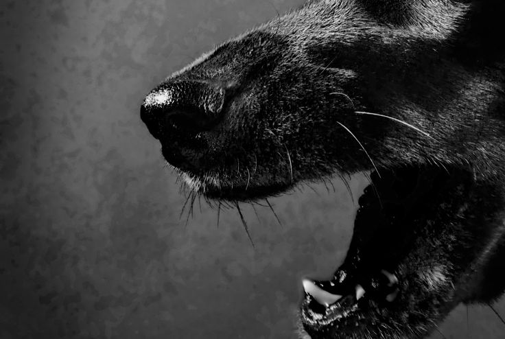 Devil Dogs: The Mysterious Black Dogs of England. These monstrous black dogs with glowing red eyes have spooked and intrigued people for centuries.