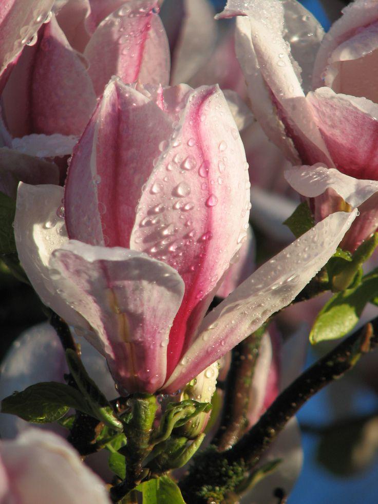 Dew covered magnolia flower in my garden.