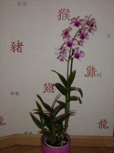 Orchidée : Dendrobium phalaenopsis, comment s'en occuper - Le blog de chris
