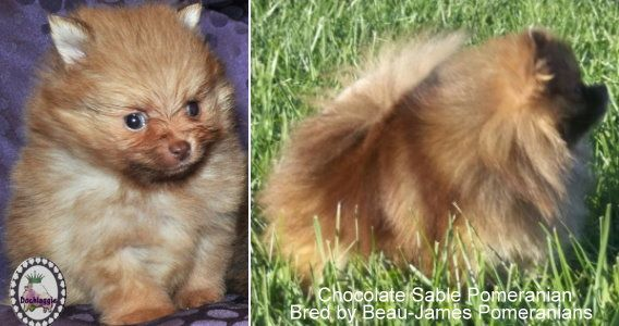 Chocolate Sable Pomeranian Puppy bred by Dochlaggie