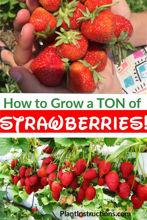 How To Grow A Lot Of Strawberries Growing Strawberries In Containers Strawberries In Containers Fruit Garden