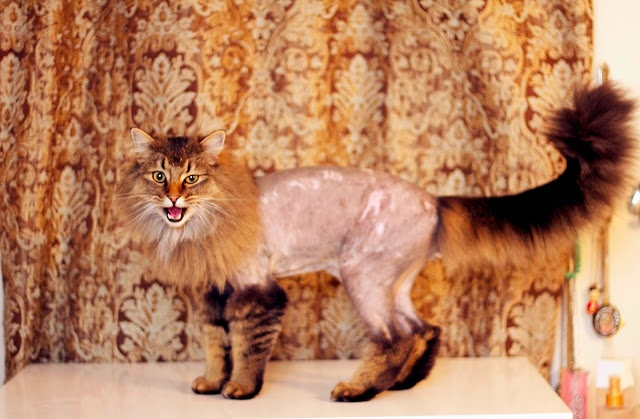Shaved Cat.
