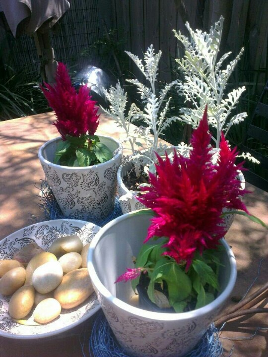 Celosia A plant for a hot spot, with feathery plumes and bright contrasting foliage. Celosia are sensitive to cold and frost and require shelter from strong winds. With regular watering in summer they will provide flushes of flowers (plumes) over summer. Avoid overhead watering which may lead to rotting.