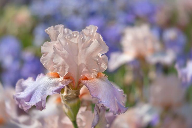 Iris in Pastels