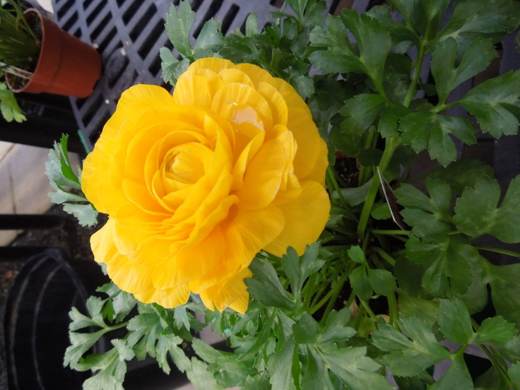 a yellow rose from stauffers of kissel hill garden centers