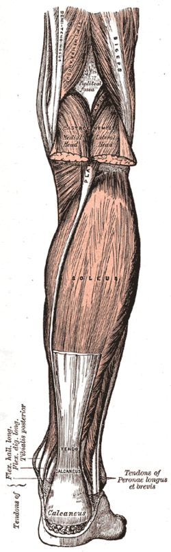 Soleus Originfibula, medial border of tibia (soleal line) Insertiontendo calcaneus Arterysural arteries Nervetibial nerve, specifically, nerve roots L5–S2 Actionsplantarflexion Antagonisttibialis anterior
