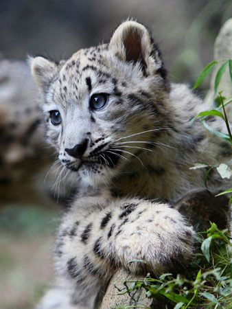 Snow Leopard Cub Adoption. Help protect a snow leopard cub living in the wild! Every symbolic snow leopard adoption package helps protect the endangered snow leopard by funding the conservation efforts needed most. www.snowleopard.org