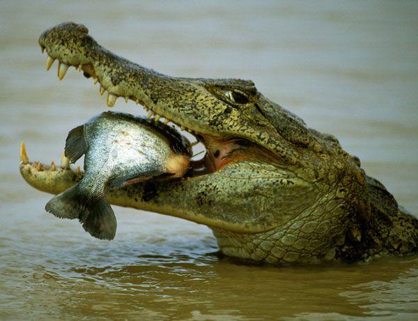 """""""Todos estos datos indican que los cocodrilos deben pertenecer a un selecto club de cazadores –unas 20 especies animales, como mucho, incluyendo a los humanos–, capaces de coordinar sus acciones de forma compleja y repartirse los papeles en función de las habilidades de cada individuo. De hecho, quizá solo los humanos superen a los cocodrilos en habilidad para cazar"""", afirma Dinets."""